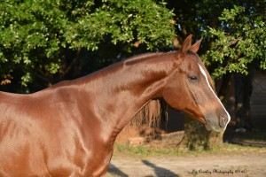 Arabian Horse for Sale in Florida